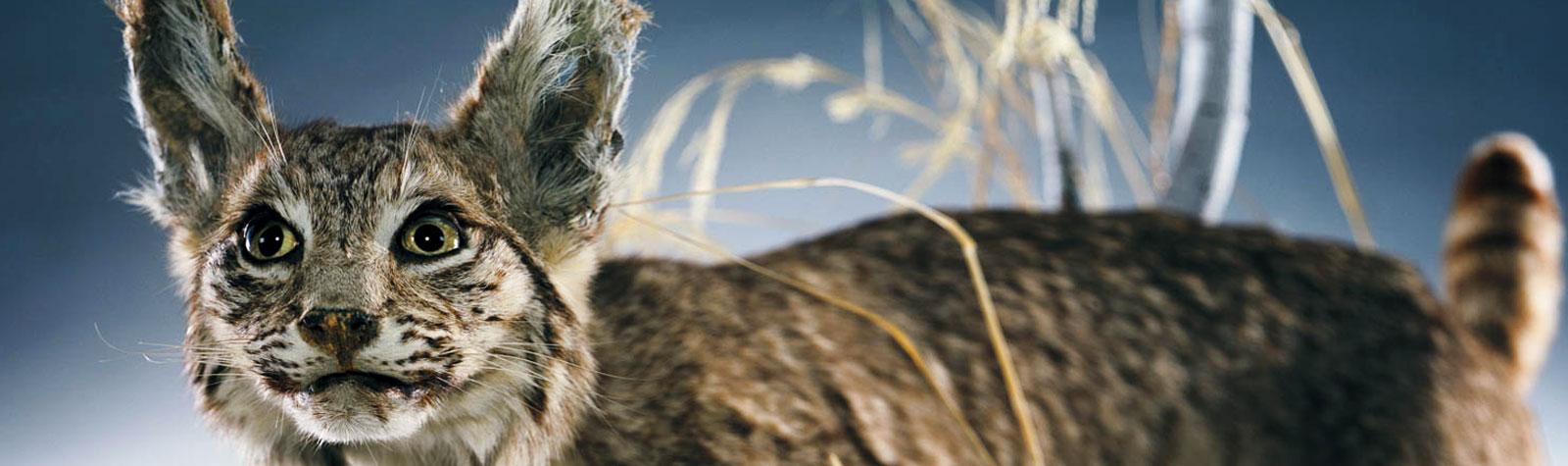 Photo of bobcat by Amanda Keller Konya for photography department